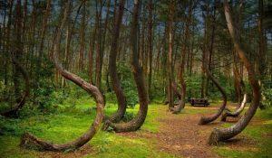 غابة الاشجار الملتوية